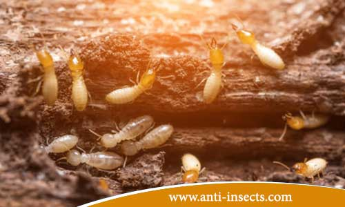 Destructive-effect-termite