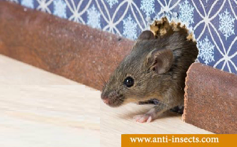 Risk-Presence-Mice-In-Home