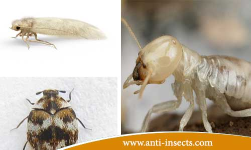 Damage-insects-on-furniture