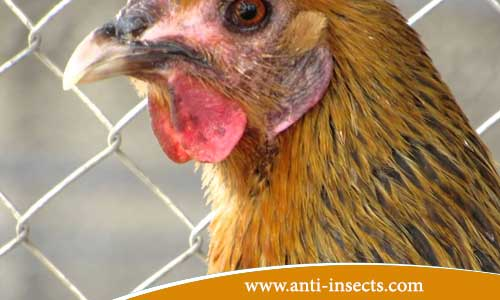Disinfection - poultry farms - from - insects